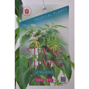 イランイラン 苗木 6号鉢 熱帯花木|kanaiengei