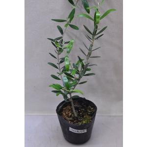 オリーブ コロネイギ 苗木 4号ポット 果樹|kanaiengei