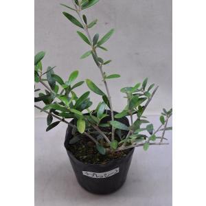 オリーブ チプレッシーノ 苗木 4号ポット 果樹|kanaiengei