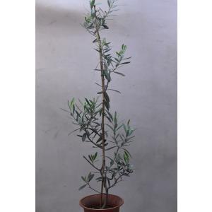 オリーブ チプレッシーノ 苗木 6号鉢 庭木|kanaiengei