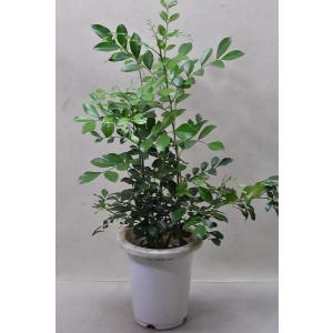 ゲッキツ 6号鉢 花木 常緑樹|kanaiengei