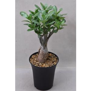 アデニウム オベスム 6号鉢 多肉植物 観葉植物 花木|kanaiengei
