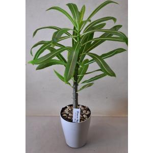 パキポディウム ルテンベルギアナム 3.5号鉢 多肉植物 観葉植物|kanaiengei