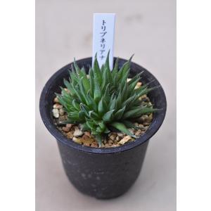 ハオルチア トリブネリアナ 2.5号鉢 多肉植物|kanaiengei