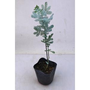 ミモザアカシア 苗木 3.5号ポット 花木|kanaiengei