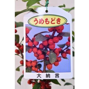 ウメモドキ 大納言 苗木 5号鉢 花木|kanaiengei
