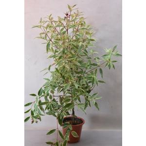 斑入りノボタン ジブラルタル 4.5号鉢 花木|kanaiengei