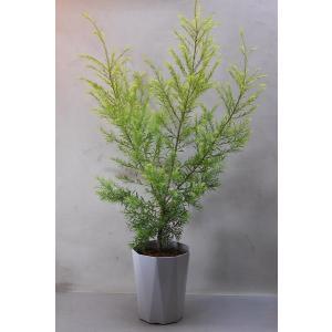 メラレウカ レボリューションゴールド 6号鉢 花木|kanaiengei