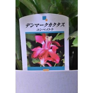 栽培用 デンマークカクタス 苗 コンペイトウ 5号鉢|kanaiengei