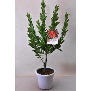 金宝樹 赤花 苗木 5号鉢 花木|kanaiengei