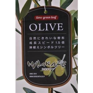 オリーブ ひなかぜ 苗木 5号鉢 果樹|kanaiengei