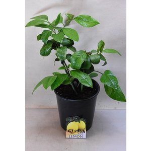 レモン ビアフランカ 苗木 5号鉢 果樹 柑橘類|kanaiengei