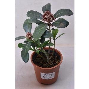 スキミア ルベラ 苗木 4.5号鉢 常緑樹 花木|kanaiengei