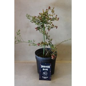 オーナメンタルベリー インディゴブルー 苗木 3.5号ポット 果樹|kanaiengei