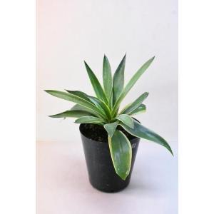観葉植物 アガベ ベネズエラ 6号 リュウゼツラン 多肉植物|kanaiengei