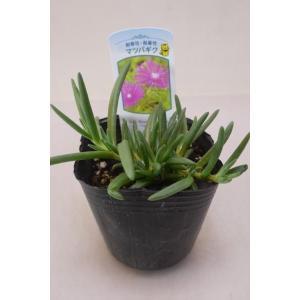 多肉質の細い葉が松の葉に似ているため、 松葉菊の名前があります。 暑さ寒さに強く育てやすい植物です。...