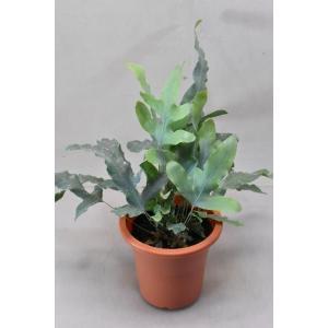 ポリポジウム ブルースター 4号 観葉植物 シダ|kanaiengei