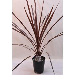 観葉植物 コルジリネ オーストラリス レッドスター 苗|kanaiengei
