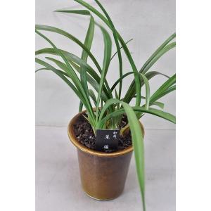 和蘭 草薙 栽培用苗 4.5号鉢|kanaiengei