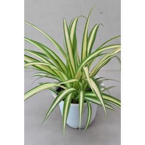 オリヅルラン中斑 4号鉢 観葉植物|kanaiengei