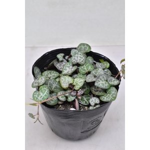 ハートカズラ 苗 観葉植物|kanaiengei