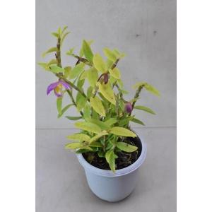 栽培用蘭 デンドロビウム ロディゲシー 3.5号|kanaiengei