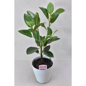 フランスゴムの木 4号 観葉植物 フィカス|kanaiengei