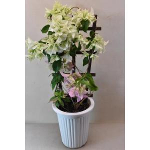 ブーゲンビレアは中南米原産の常緑樹です。 丈夫で長期間花を咲かせるため、人気のある植物です。  比較...