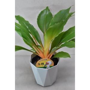 パリソタ 朱鷺 4号鉢 観葉植物|kanaiengei