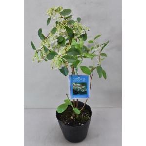 スズランの木は北米原産のツツジ科の落葉樹です。 スズランに似た花を咲かせ、秋に紅葉する植物です。 耐...