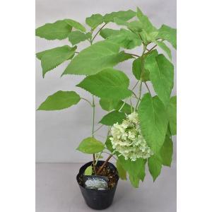 アナベルは北米原産の品種で、小さな白い花が密に集まり、 大きな花房を作ります。通常のアジサイと異なり...