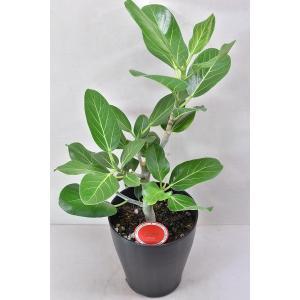 フィカス ベンガレンシス 6号鉢 観葉植物 ゴムの木|kanaiengei
