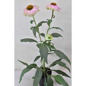 エキナセア グリーンツイスターは咲はじめはグリーンの花ですが、 徐々に中心部がピンクに変わっていく品...