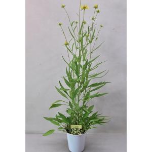 宿根ルドベキア リトルスージー 苗 4号 草花の苗 kanaiengei