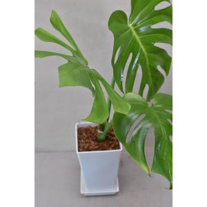 モンステラ 5号スクエアポット(鉢皿付き) 観葉植物|kanaiengei
