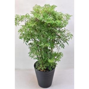 ポリシャス 6号鉢 観葉植物 台湾モミジ|kanaiengei