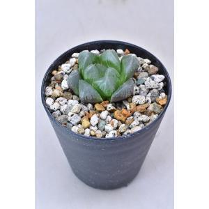 ハオルチア 雨玉オプツーサ 3号ポット 多肉植物|kanaiengei
