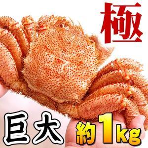 活毛蟹 極(きわみ) 1kg 巨大サイズ 北海道産の活け毛がに 散布で獲れた未冷凍の毛蟹 北海道グルメ通販