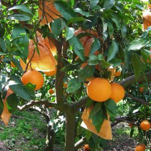 名産地の完熟清見オレンジ4kg|kanjyukuya|03