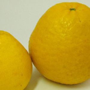 灘オレンジ 4kg グレープフルーツのような河内晩柑|kanjyukuya|05