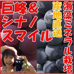 長野県産 プレミアムぶどう 種無し 巨峰 & シナノスマイル 詰合せ 贈答用 (産地直送 2kg )産直 栽培方法 キョホウ きょほう kanon-web