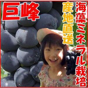 長野県産 プレミアムぶどう 巨峰 贈答用 (産地直送 2kg )産直 栽培方法 きょほう キョホウ kanon-web