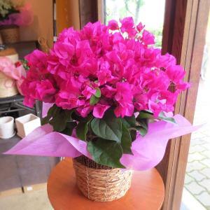 ブーゲンビレア(レッド系)5号鉢サイズ 鉢植え 花 フラワー...