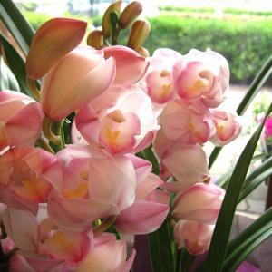 シンビジューム 3本立ち以上 花 フラワー 鉢植え プレゼント ギフト 贈り物 お誕生日 開店祝い お歳暮 御歳暮 蘭 シンビジウム シンピジューム シンピジウム