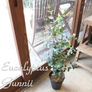 ユーカリ グニー 5号鉢サイズ 鉢植え グニーユーカリ ユーカリグニー 観葉植物 ミニ プレゼント ギフト お誕生日 開店祝い 引越し祝い 庭木 シンボルツリー 苗