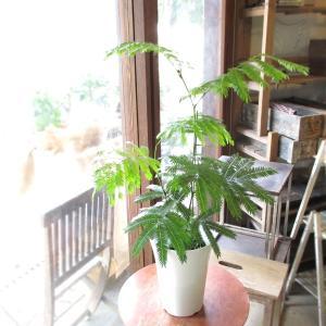 エバーフレッシュ(ネムノキ)6号鉢サイズ 観葉植物 ミニ 鉢植え インテリアグリーン プレゼント ギフト お誕生日 記念日 開店祝い 人気 合歓の木 ねむの木