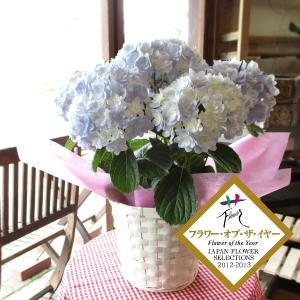 アジサイ「万華鏡(ブルー)」5号鉢サイズ 鉢植え 花 フラワ...