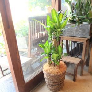幸福の木 ドラセナ マッサンゲアナ 7号鉢サイズ 鉢植え 送料無料 薫る花 観葉植物 おしゃれ インテリアグリーン 大型 中型 お誕生日プレゼント 開店祝い