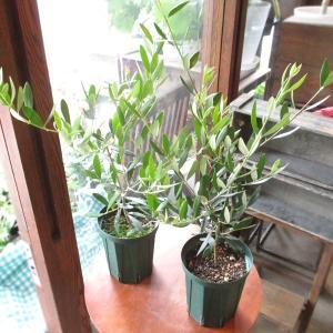 2品種セット オリーブの木 4号鉢サイズ 鉢植え 苗木 送料無料 薫る花 庭木 シンボルツリー 常緑...