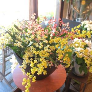 香るオンシジューム トゥインクル ミックス 5株の寄せ植え 花 フラワー プレゼント ギフト お誕生日 開店祝い 引越し 新築 お歳暮 蘭 洋ラン オンシジウム